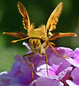 Skipper, Zabulon, perhaps, though Fiery Skipper more likely considering the locality in theBay Area, CA - Hylephila phyleus