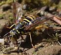 Bee ID in PA - Spilomyia longicornis