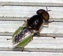 Fly with lime-green abdomen - Odontomyia virgo - male