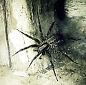 wolf spider? hobo spider? grass spider? some other kind of spider?