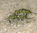 Mating Pair - Cicindela ohlone - male - female