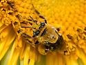 Long-horned bee on Sunflower - Melissodes trinodis