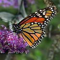 monarch, ventral--at butterfly bush (Buddleia davidii) - Danaus plexippus - female