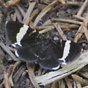Trichodezia albovittata maybe - Trichodezia albovittata