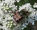 Trichiotinus - Trichiotinus piger