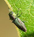Metalic Woodboring Beetle - Anthaxia quercata - male