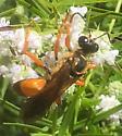 orange wasp on mint flower - Sphex ichneumoneus