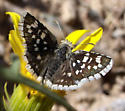 Small Checkered Skipper - Pyrgus scriptura
