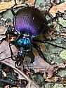 Beetle - Scaphinotus viduus