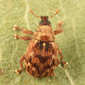 weevil - Piazorhinus pictus