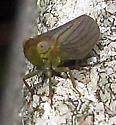 Planthopper - Thionia simplex