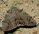 Catocala neogama euphemia - Catocala neogama