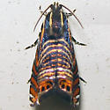 Psychedelic Jones Moth - Hodges#3751 - Thaumatographa jonesi
