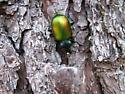 Metallic Green Beetle carrying egg - Calosoma sycophanta