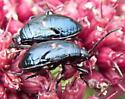 Bordered Plant Bug - Largus