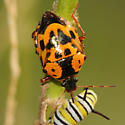 Orange and Black beetle - Stiretrus anchorago