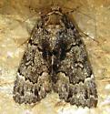 False Underwing Moth - Allotria elonympha