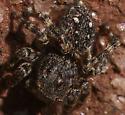 S. pubescens - Hypositticus pubescens