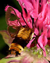 Clearwing hummingbird moth - Hemaris diffinis
