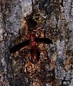 Polistes carolina - Red Paper Wasp and Vespula squamosa - Southern Yellowjacket - Polistes
