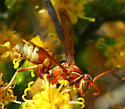 Polistes dorsalis californicus - Polistes dorsalis - male
