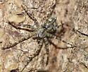 Small Dolomedes???? - Dolomedes albineus