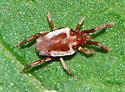 white bordered red mite - Leptus