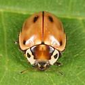 Streaked Lady Beetle - Myzia pullata