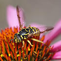 Syrphid fly (Spilomyia citima) - Spilomyia citima