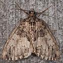 Black-dashed Hydriomena - Hydriomena divisaria
