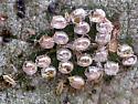 Egg parasites? - Heliothrips haemorrhoidalis