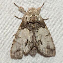 Mottled Prominent Moth - Hodges #7975 - Macrurocampa marthesia