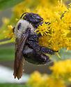 UI Bee for ID - Xylocopa virginica - female