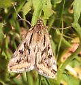 Brown Pattern Moth - Loxostege cereralis
