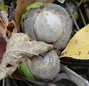 Hickory nut, home to the hickory nut weevil - Curculio caryae
