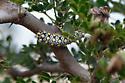 Spotted larva - Norape virgo