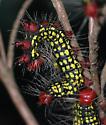 Azalea Caterpillar - Datana major