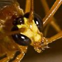 Short-tailed Ichneumon Wasp - Enicospilus purgatus
