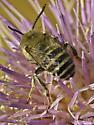 Happy Bee - Anthophora urbana