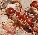 Harvester ant - Pogonomyrmex maricopa