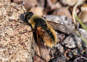 Bee-like Fly - Systoechus