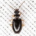 Ground Beetle - Pentagonica flavipes
