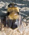 Deer Bot Fly - Cephenemyia phobifer
