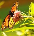 Monarch - Danaus plexippus