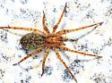 Anyphaenidae? - Anyphaena celer