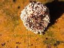Unknown Grey Lichen looking critter - Leucochrysa pavida