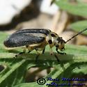 Leaf Beetle - Trirhabda bacharidis