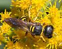 Subfamily Crabroninae - Square-headed Wasp - Ectemnius decemmaculatus