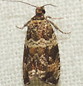 Celypha Moth - Celypha cespitana
