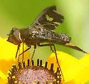 Beefly  Exoprosopa decora Female - Exoprosopa decora - female